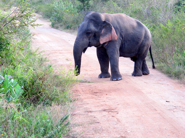 The dwarf adult male was in musth when researchers saw it, with visible temporal gland secretions. Also visible is a scar at the tip of the trunk, inflicted by a noose set to catch bushmeat. Photo by Brad Abbott.
