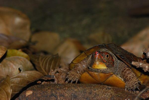 Uma tartaruga de cana-de-floresta Cochin (Vijayachelys Silvatica). Photo by A. Kanagavel.