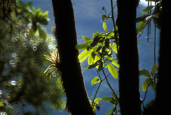 Detail of epiphytic plants in the forest canopy. (Credit: Juan Pablo Moreiras / Fauna & Flora International)