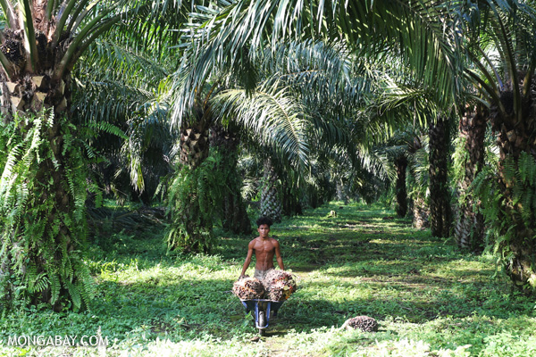 Worker harvesting fresh fruit bunches in an oil palm plantation