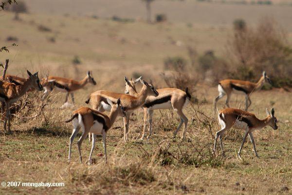 Herd of Thomson's Gazelle (Gazella thomsoni)