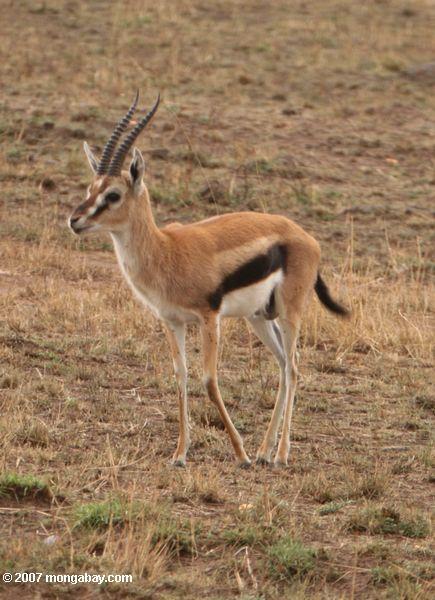 Thomson's Gazelle (Gazella thomsoni)