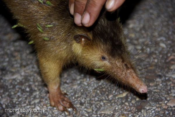 A Hispaniolan solenodon (Solenodon paradoxus) with grass seeds on its face near Pedernales, Dominican Republic. Photo by: Tiffany Roufs.
