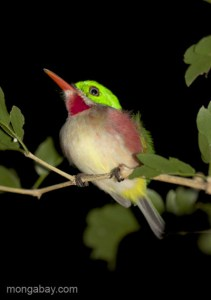 A broad-billed Tody (Todus subulatus) near Pedernales, Dominican Republic. Photo by: Tiffany Roufs.