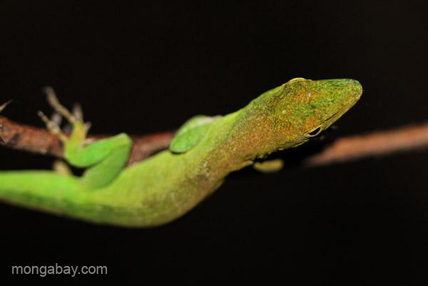 A lizard near Pedernales, Dominican Republic. Photo by: Tiffany Roufs.