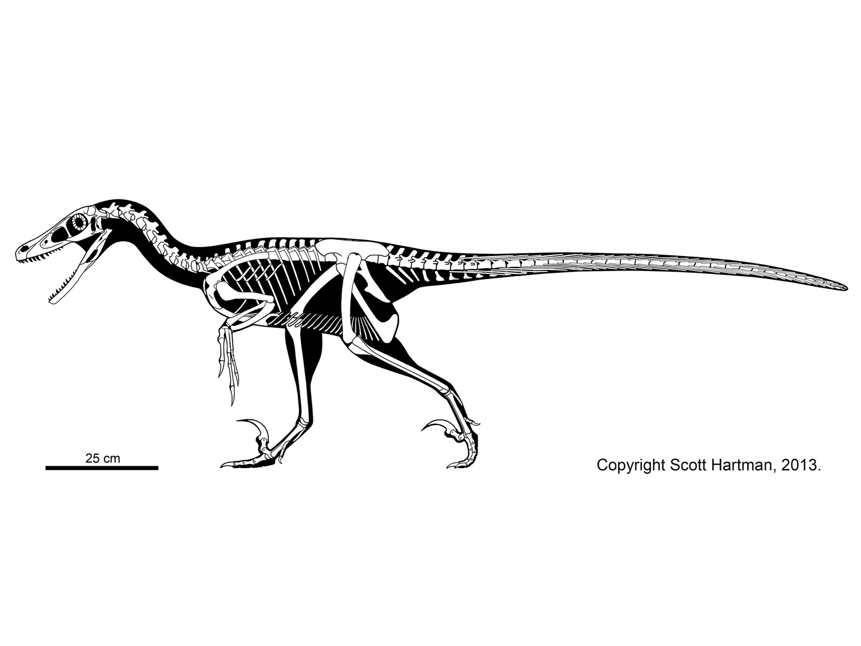 velociraptor  u2013 institute for the study of mongolian dinosaurs