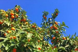 オレンジシーズン到来のセビリア!青空に映えるオレンジの実