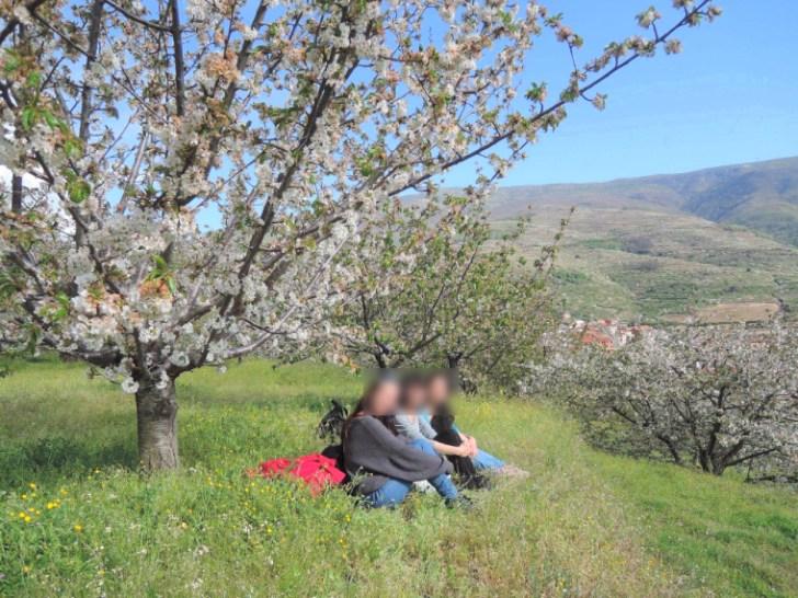 Valle del Jerteの桜