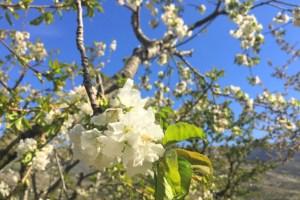 スペインで桜を見に行く弾丸お花見ツアー!セビリアからヘルテ谷へ