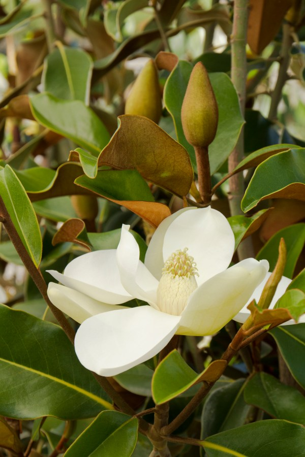 Of Magnolia and Fig Trees, Strength From Adversity