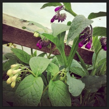 Tuberous and Russian comfrey