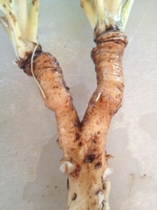 Young roots are plump not wrinkled