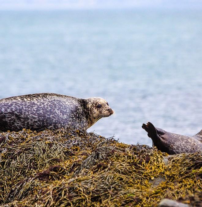 Seals on Lambay
