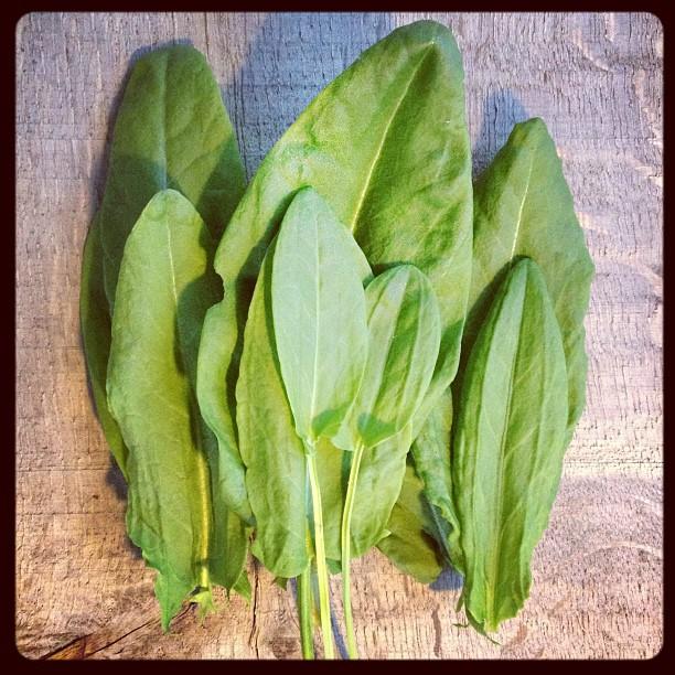 sorrel-leaves