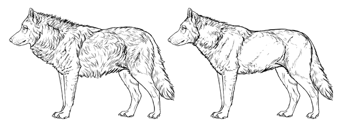 how-to-draw-wolves-fur-summer-winter-coat