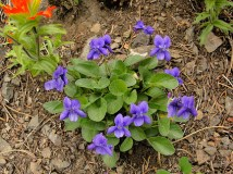 Early blue violets, by Miguel Vieira - http://www.flickr.com/photos/miguelvieira/4836616228/