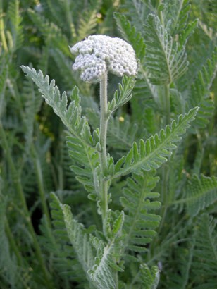 Yarrow, by orchid galore - http://www.flickr.com/photos/25609635@N03/2670694691/