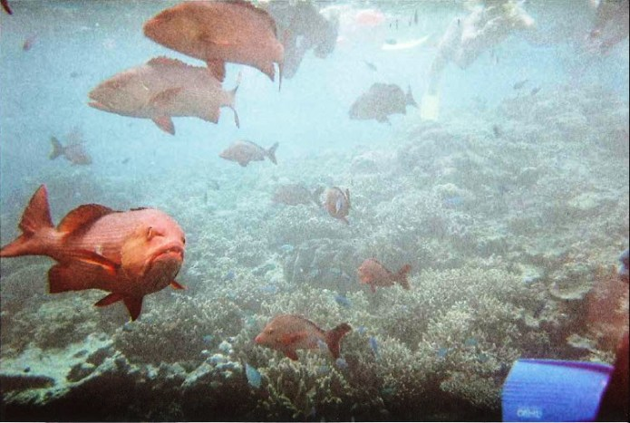 Red Bass on the Great Barrier Reef Queensland Australia