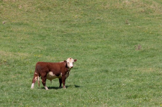 New Zealand Cow
