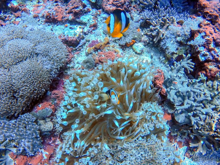Clown Fish at Toya Pakeh