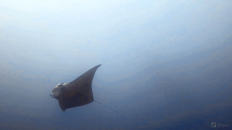 Manta Ray at Manta Point Bali
