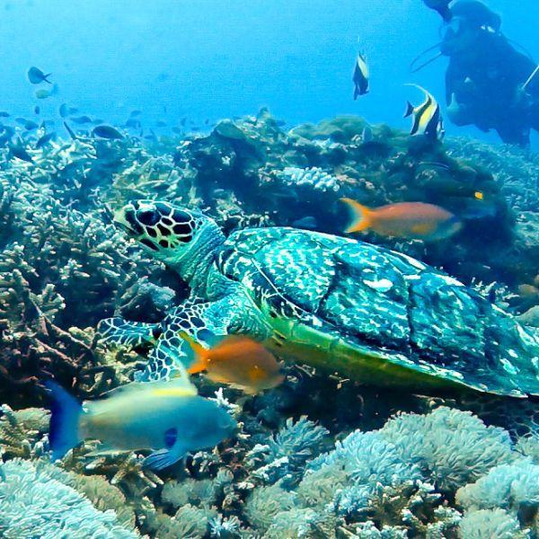 Blue Corner Scuba Dive Nusa Lembongan Hawksbill Turtle