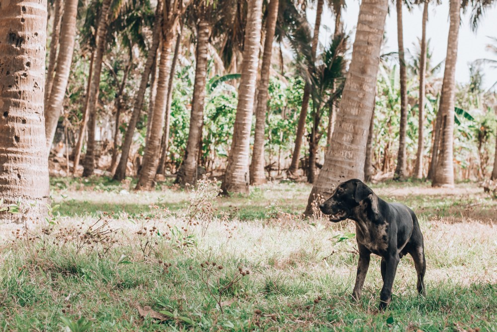 Paws of Lembongan Nusa Ceningan Palm Tree Dog