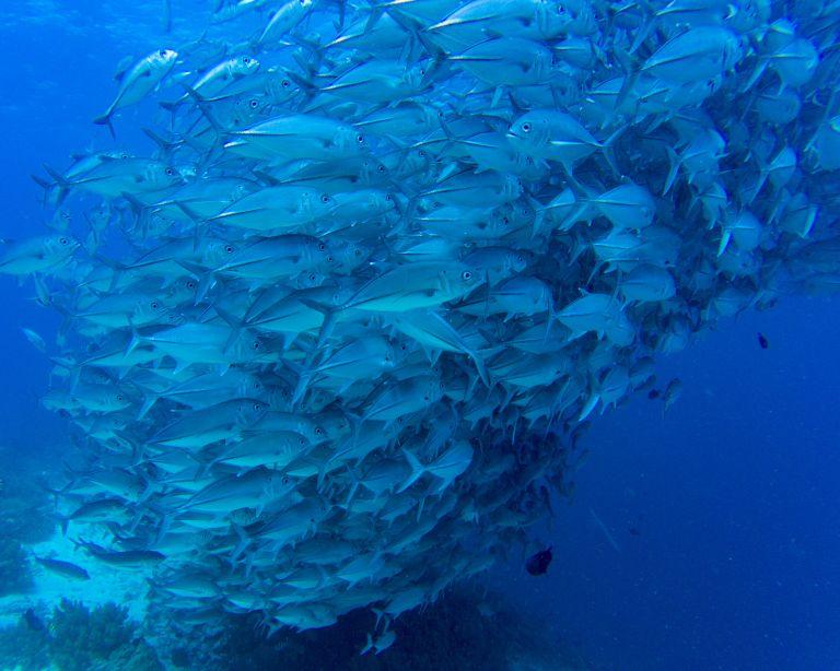 Balicasag Island Bohol Philippines Jackfish
