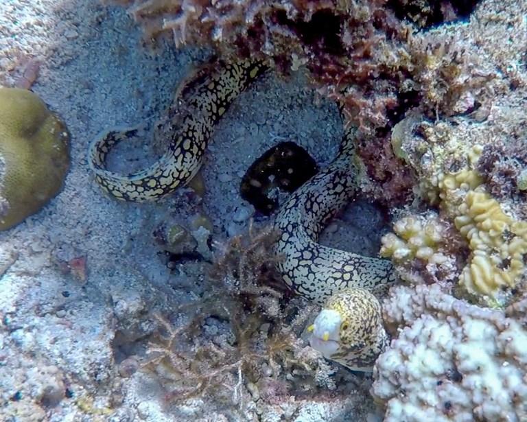 Malapascua Island Cebu Philippines Moray Eel