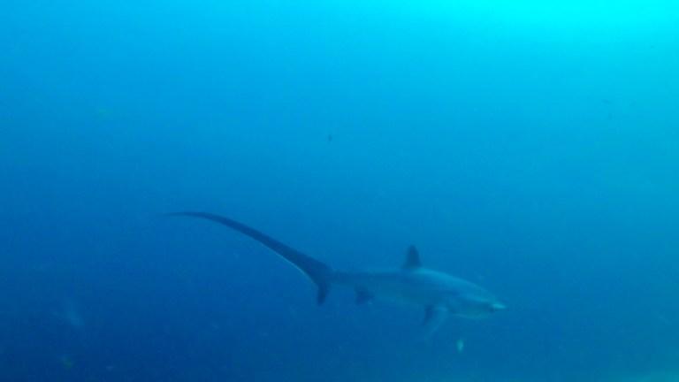Malapascua Island Cebu Philippines Thresher Shark 1