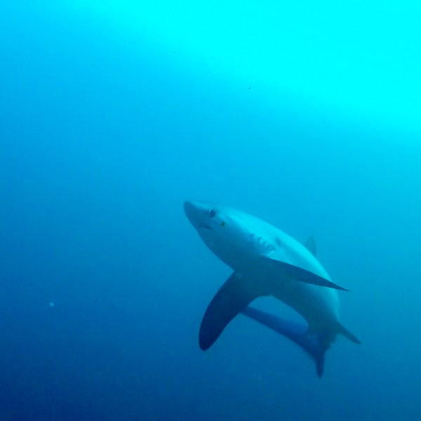 Malapascua Island Cebu Philippines Thresher Shark 2