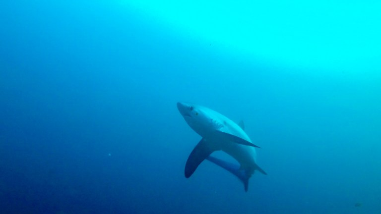 Malapascua Island Cebu Philippines Thresher Shark 2