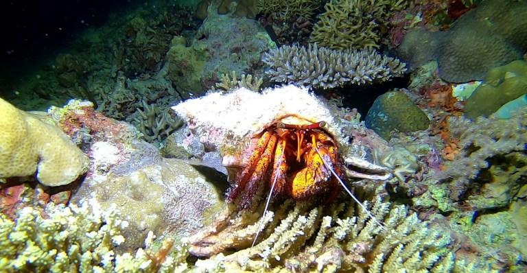 Dive Seafari El Nido Coron Palawan Philippines Shipwreck Hermit Crab