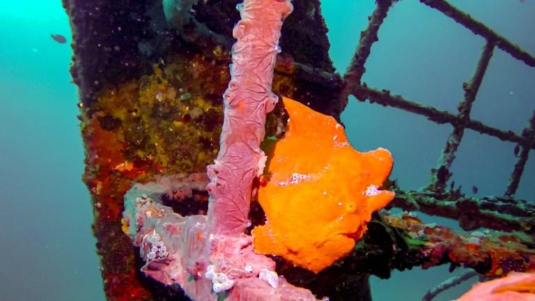 Scuba Diving Panglao Bohol Philippines Frogfish