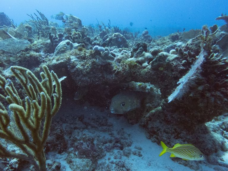 Puffer Fish Scuba Diving Cancun Mexico