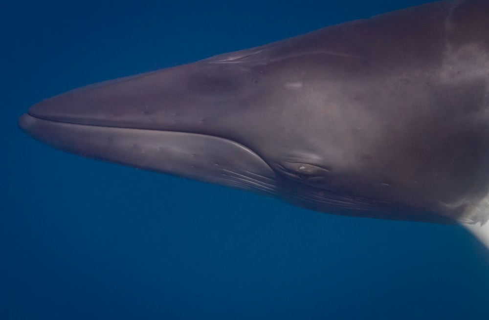 Close up of Dwarf Minke Whale Great Barrier Reef Queensland Australia