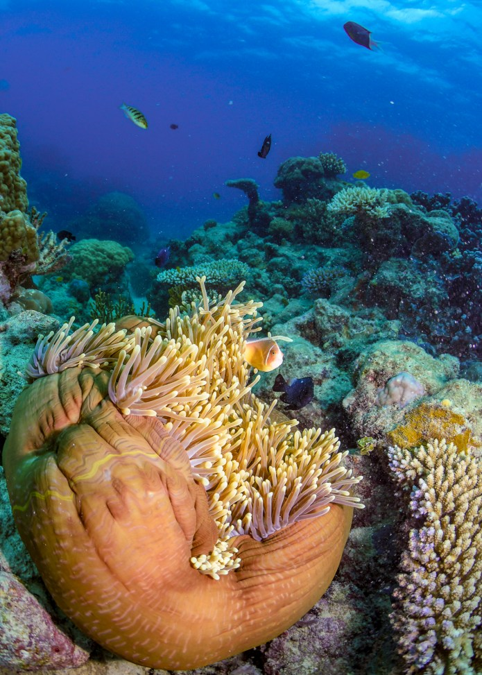 Anemone Fish Great Barrier Reef Cairns Queensland Australia