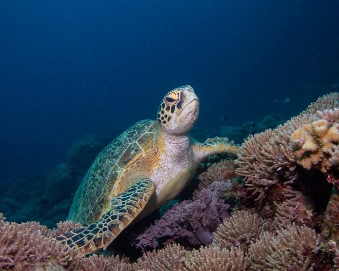 Turtle Great Barrier Reef Cairns Queensland Australia