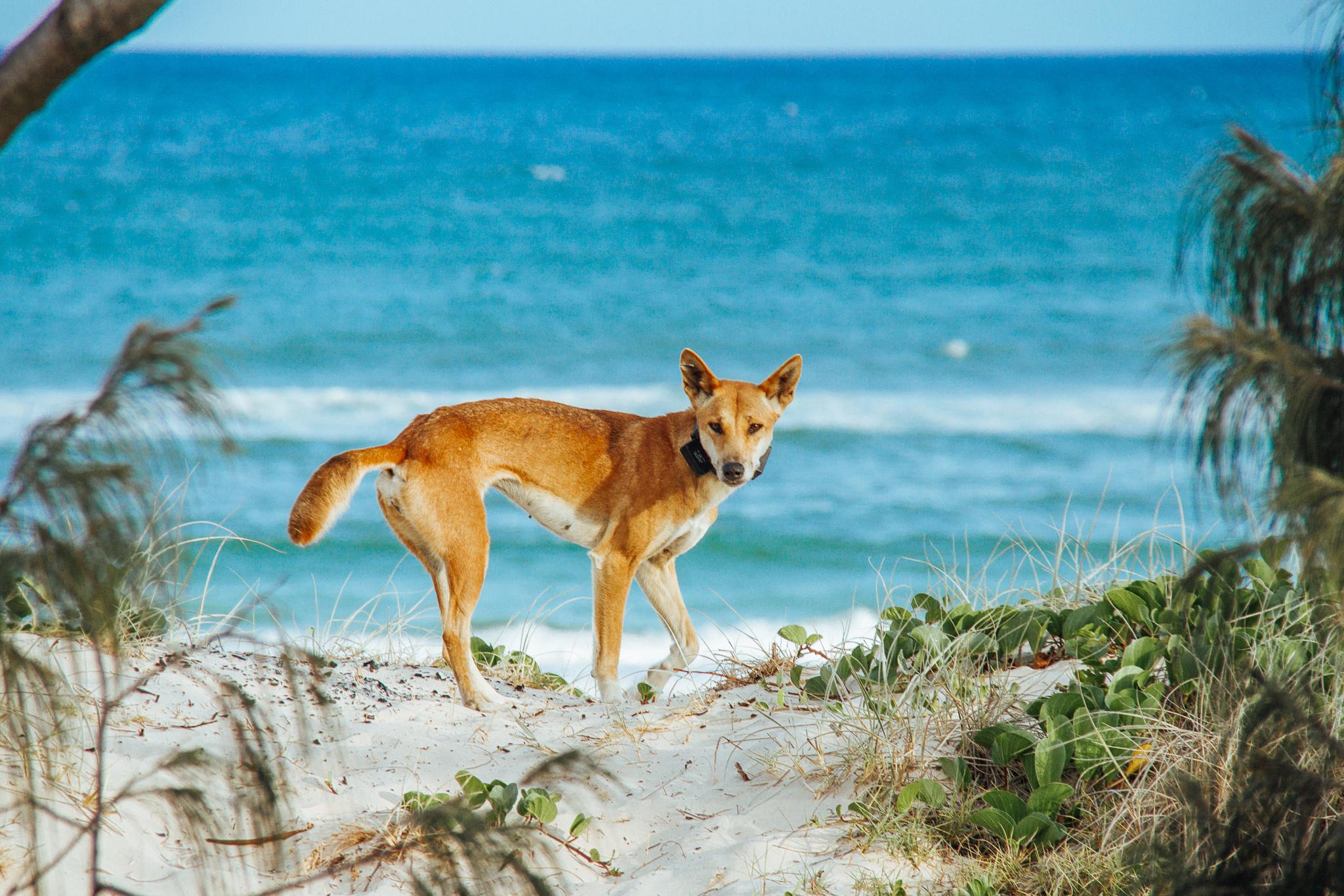 Dingo by Beach Fraser Island Queensland Australia