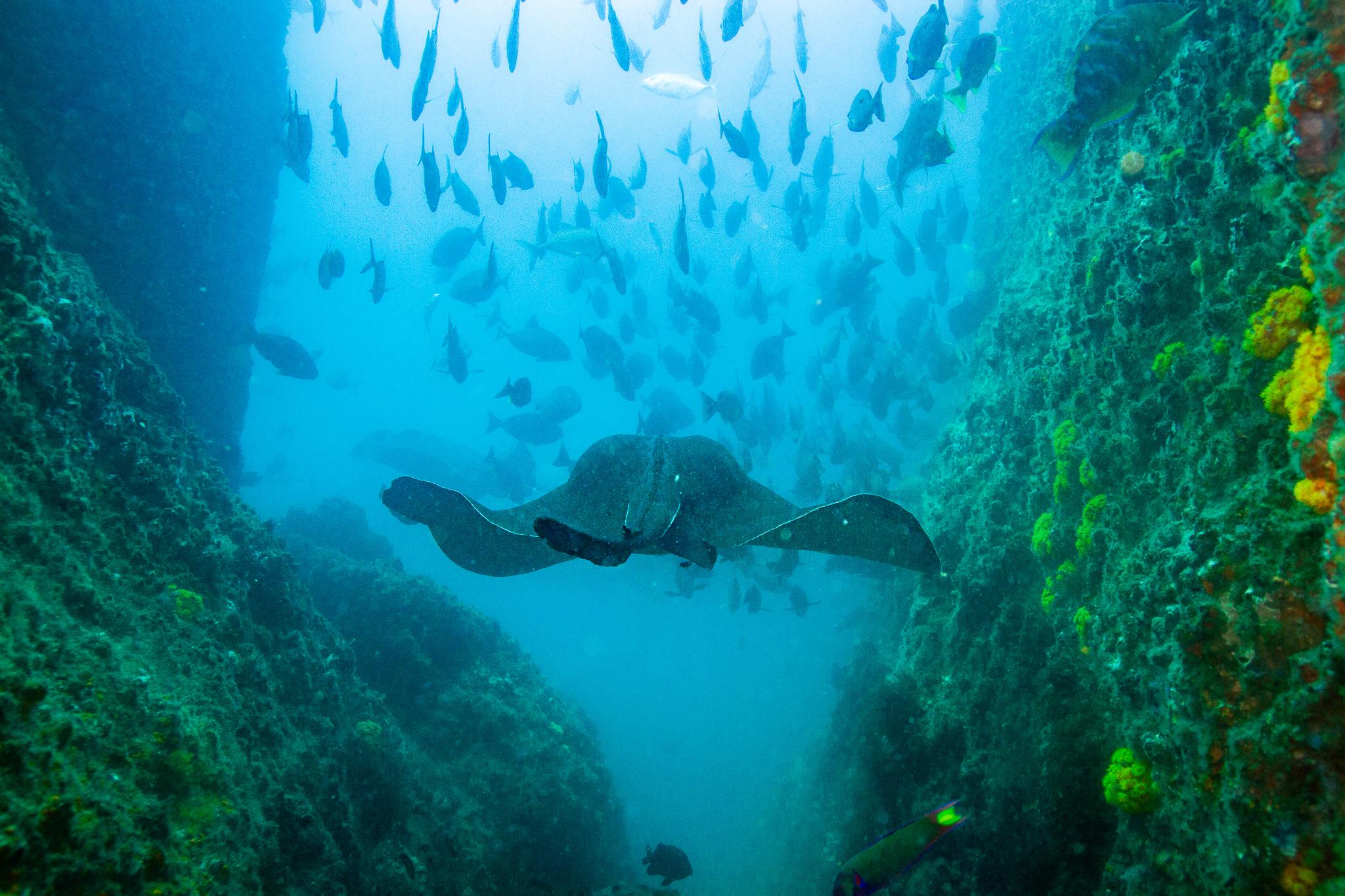 Bull Ray Wolf Rock Queensland Australia