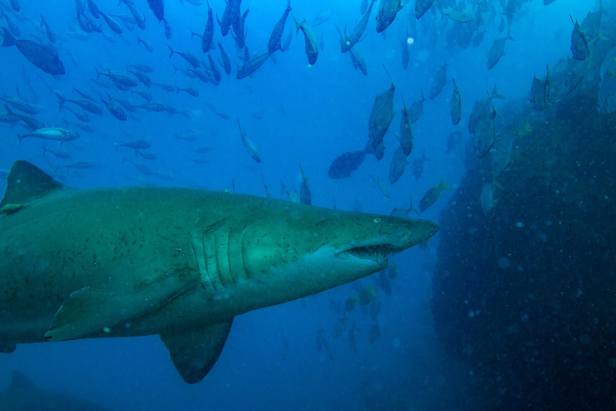 Grey Nurse Shark Fish Wolf Rock Queensland Australia