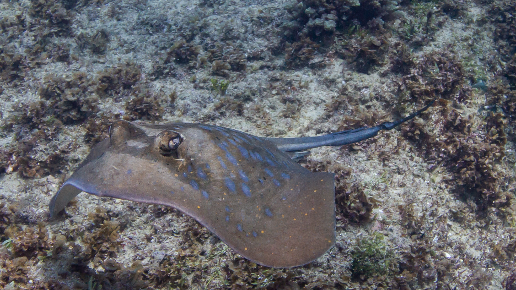 Blue Spotted Sting Ray North Stradbroke Island Queensland Australia