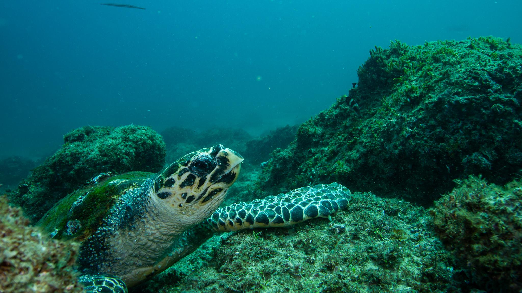 Hawksbill Turtle North Stradbroke Island Queensland Australia