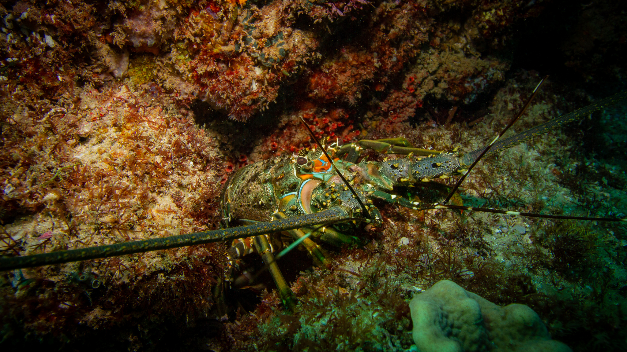 Lobster North Stradbroke Island Queensland Australia