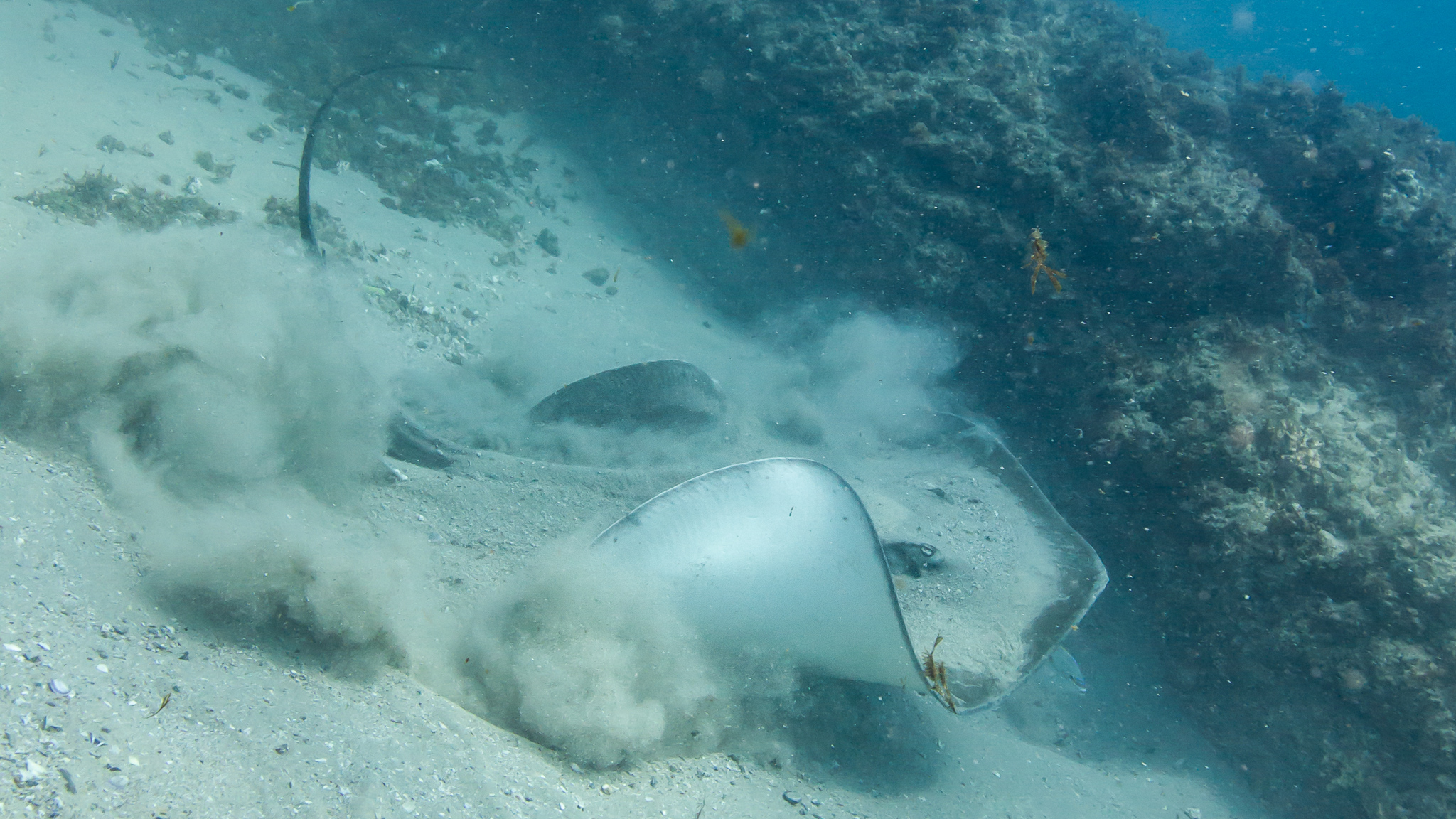 Sting Ray North Stradbroke Island Queensland Australia