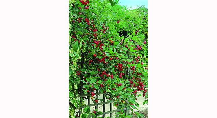 des arbres fruitiers en cloison au jardin