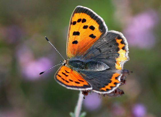 10 papillons a reconnaitre dans le jardin