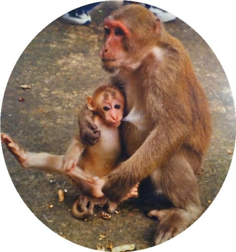 mother and baby pig-tailed macaque at a temple in Thailand