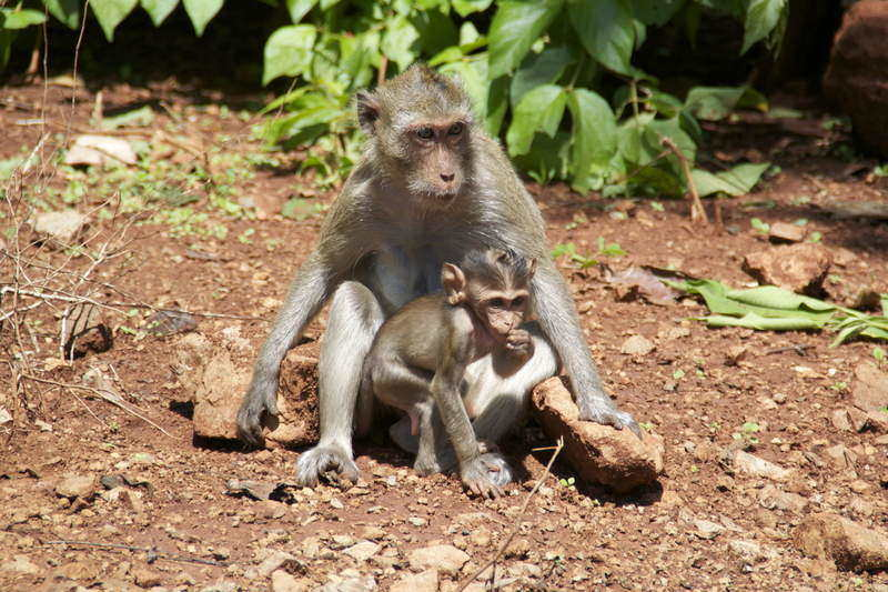 macaque_monkey_in_thailand