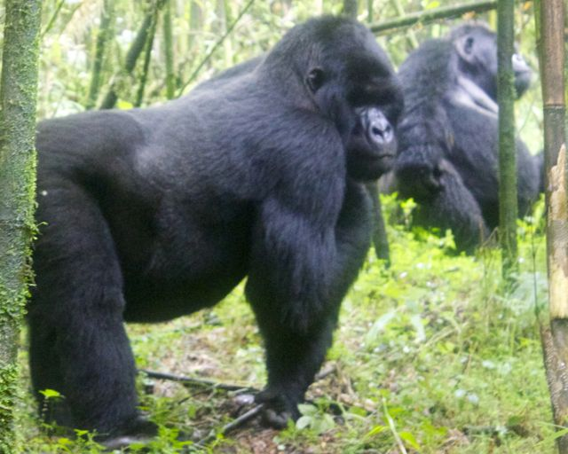 Two of the Sabyinyo troop's three silverbacks in Volcanoes National Park, Rwanda